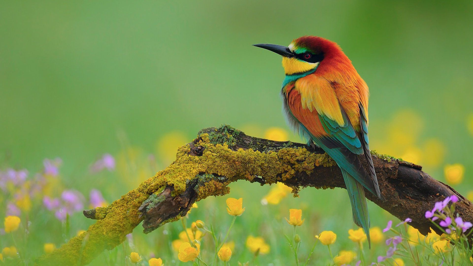 European bee eater size - photo#13