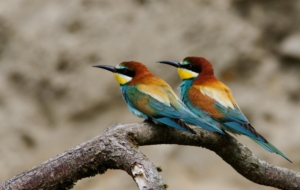 European Bee Eater High Quality Wallpapers