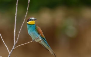 European Bee Eater Images