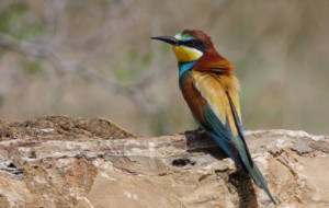 European Bee Eater For Desktop