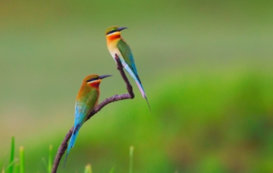 European Bee Eater Full HD