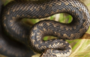 European Grass Snake Desktop