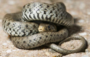 European Grass Snake High Definition Wallpapers