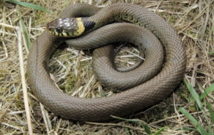 European Grass Snake High Quality Wallpapers