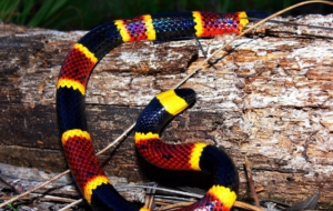 False Coral Snake Desktop