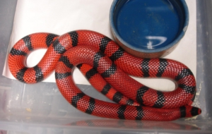 False Coral Snake Desktop Wallpaper