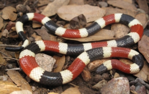 False Coral Snake HD