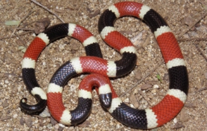 False Coral Snake HD Wallpaper