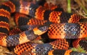 False Coral Snake High Definition