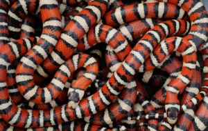 False Coral Snake For Desktop
