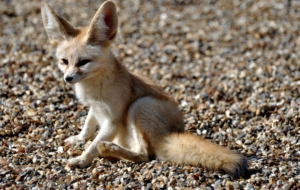 Fennec Fox Background