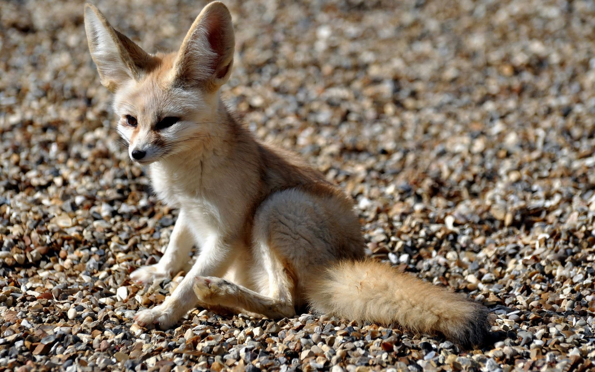 fennec fox wallpapers backgrounds