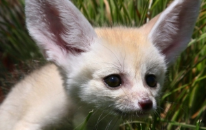 Fennec Fox Computer Wallpaper