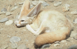Fennec Fox Desktop Wallpaper