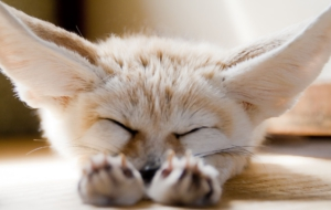 Fennec Fox HD