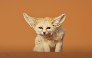 Fennec Fox HD Background