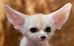 Fennec Fox High Definition Wallpapers