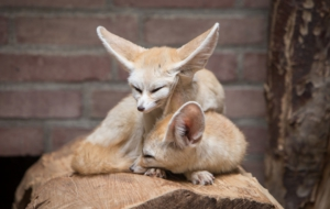 Fennec Fox For Desktop