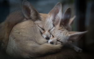Fennec Fox For Desktop Background