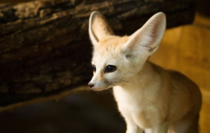 Fennec Fox Full HD