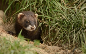 Ferret High Definition Wallpapers