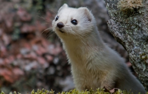 Ferret For Desktop