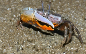 Fiddler Crab Computer Wallpaper