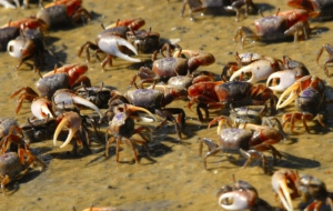 Fiddler Crab HD Background