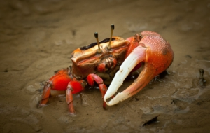 Fiddler Crab HD Wallpaper
