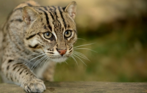 Fishing Cat Desktop