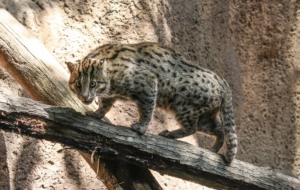 Fishing Cat Desktop Images