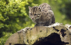 Fishing Cat Download