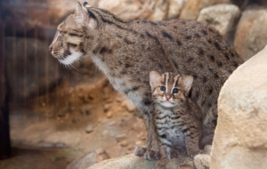 Fishing Cat Free HD Wallpapers