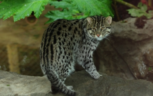 Fishing Cat HD
