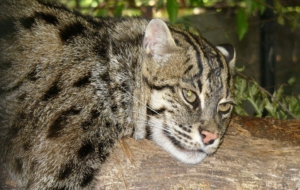 Fishing Cat HD Pics