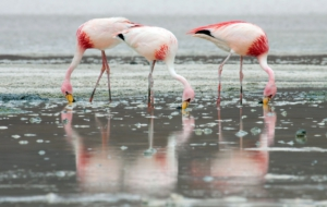 Flamingo Download