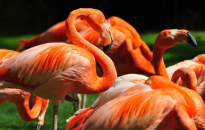 Flamingo Free Download