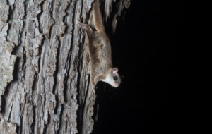 Flying Squirrel Desktop