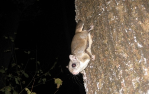 Flying Squirrel High Quality Wallpapers