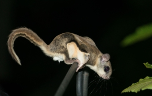 Flying Squirrel For Desktop