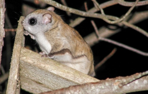 Flying Squirrel Full HD