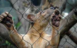 Fossa Download