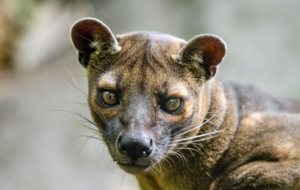 Fossa HD Background