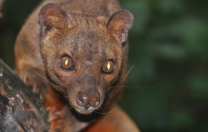 Fossa For Desktop Background