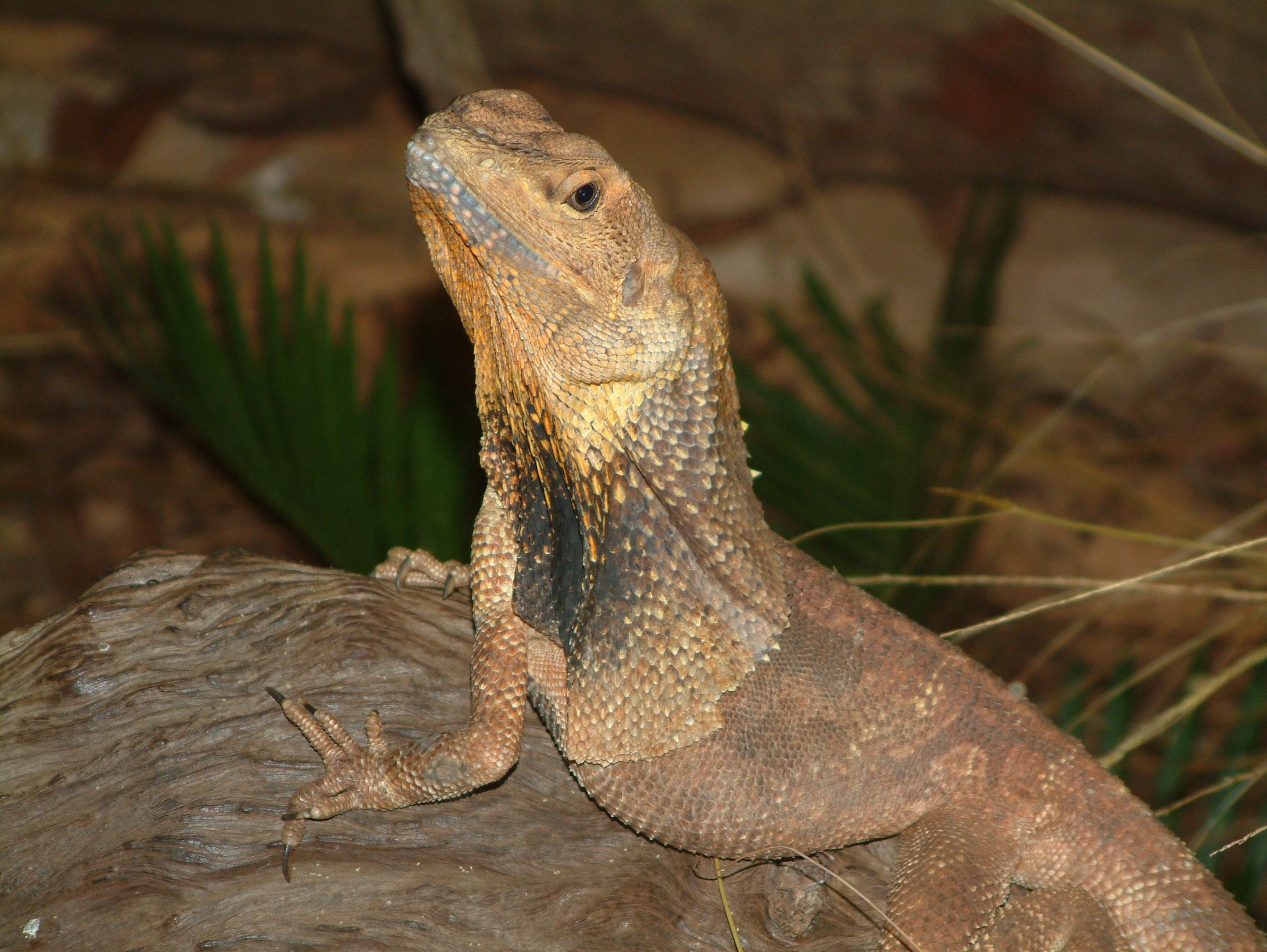Frilled-neck Lizard Wallpapers Backgrounds
