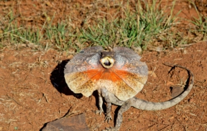 Frilled Neck Lizard HD
