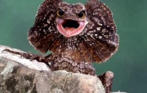 Frilled Neck Lizard HD Desktop