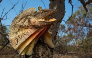 Frilled Neck Lizard High Definition Wallpapers