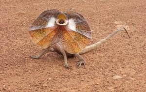 Frilled Neck Lizard For Desktop Background