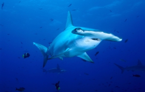 Hammerhead Shark Background